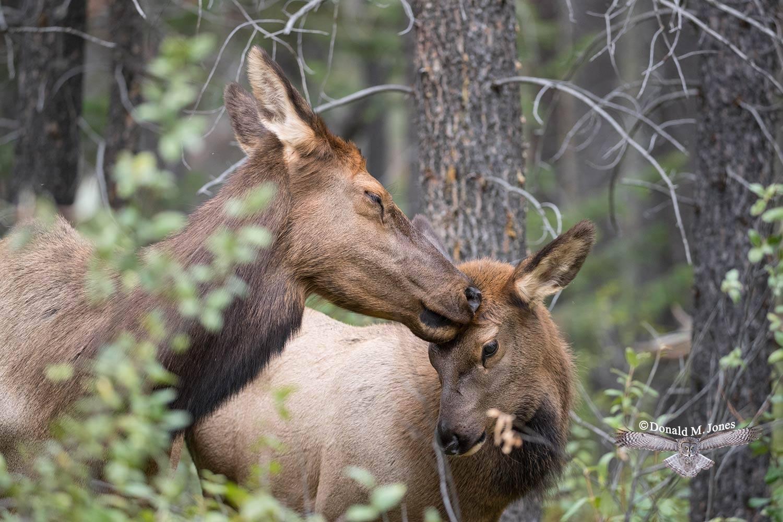 Elk-(Rocky-Mtn)24184D