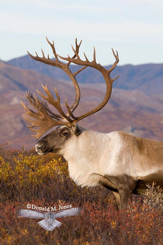Barren-Ground-Caribou01851D