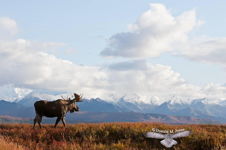 Moose03503D