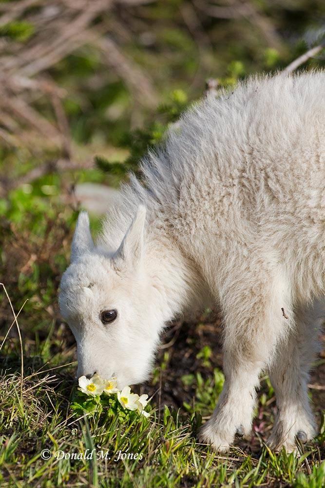 Mountain-Goat02618D