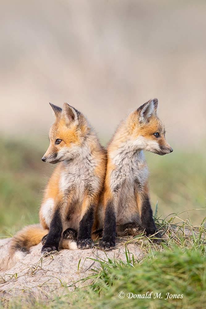 Red-Fox1346D
