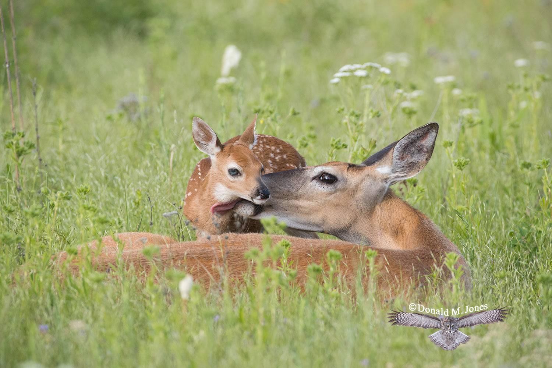 Whitetail-Deer57261D