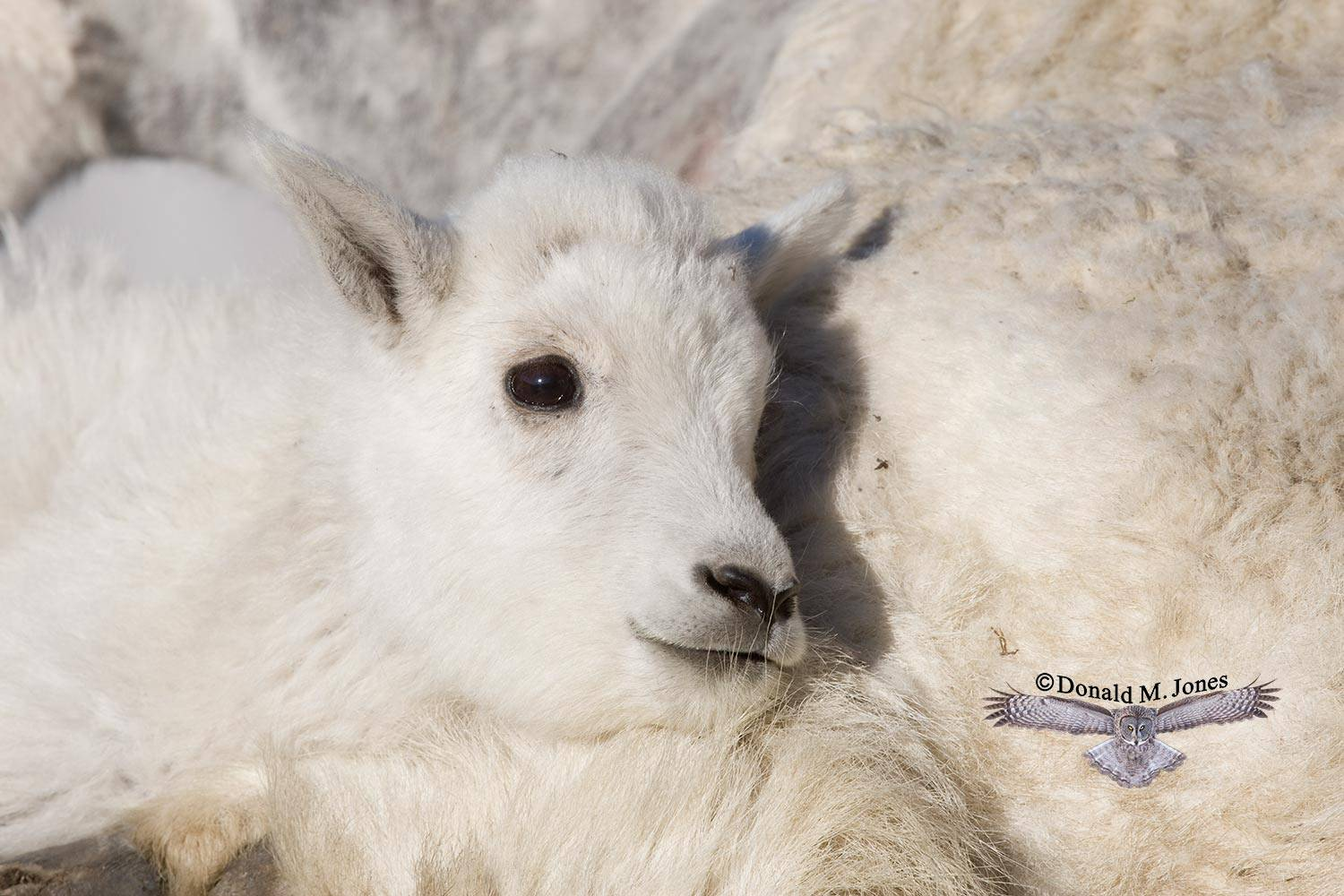 Mountain-Goat01871D