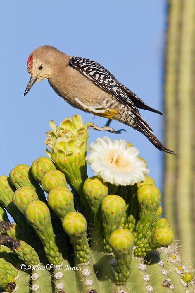 Gila-Woodpecker0063D