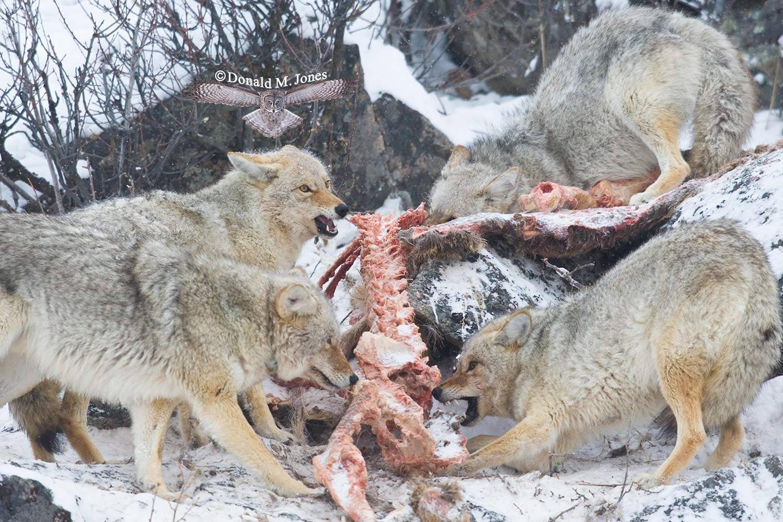 Coyote01796D