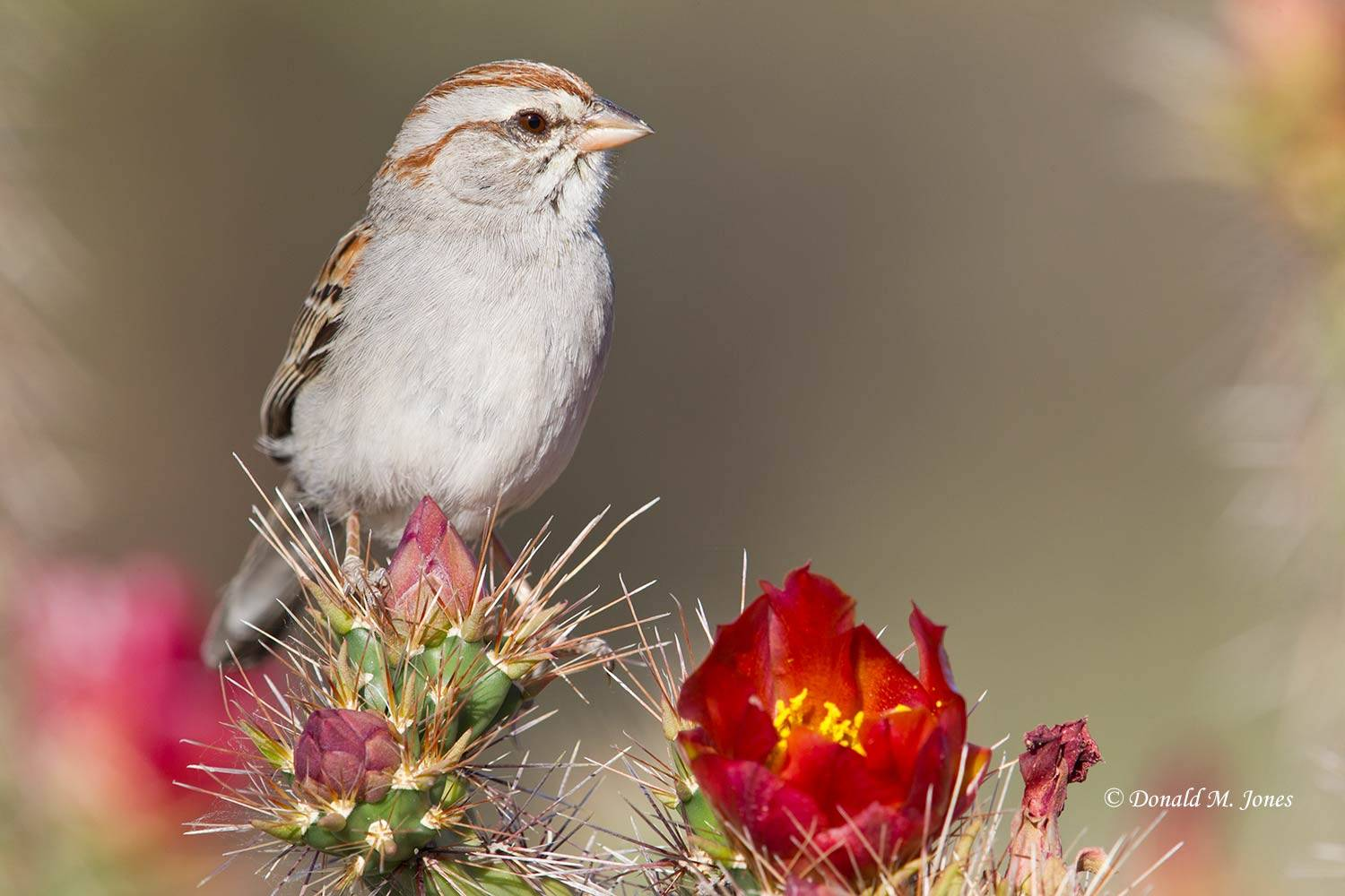 Rufus-winged-Sparrow0127D