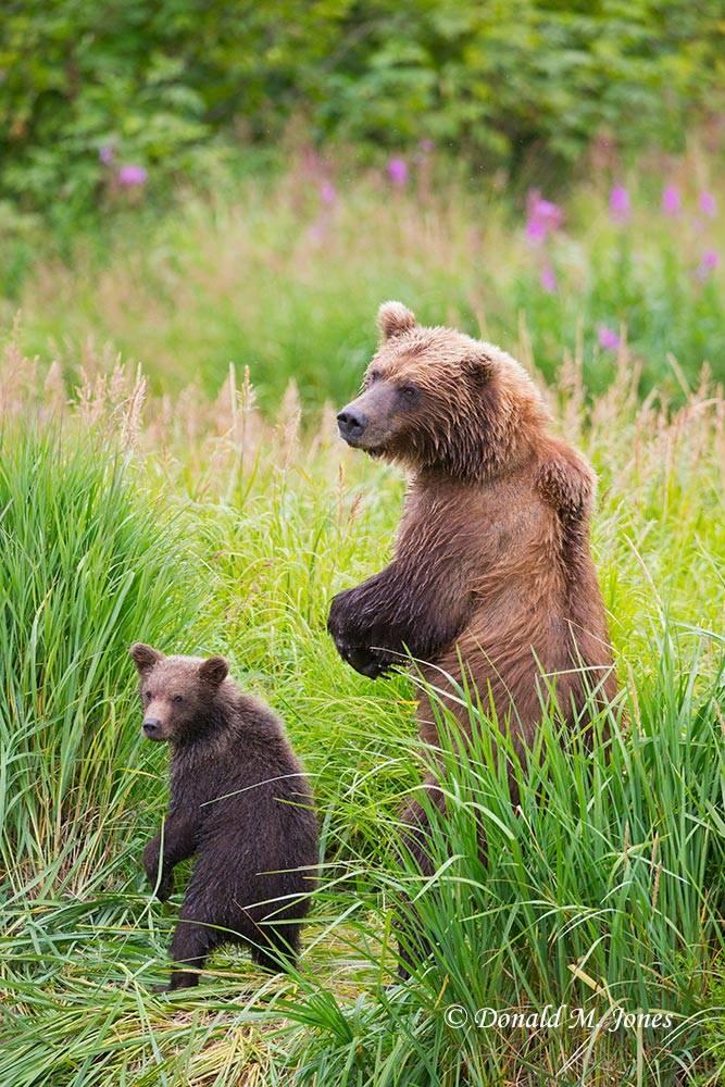 Brown-Bear01995D