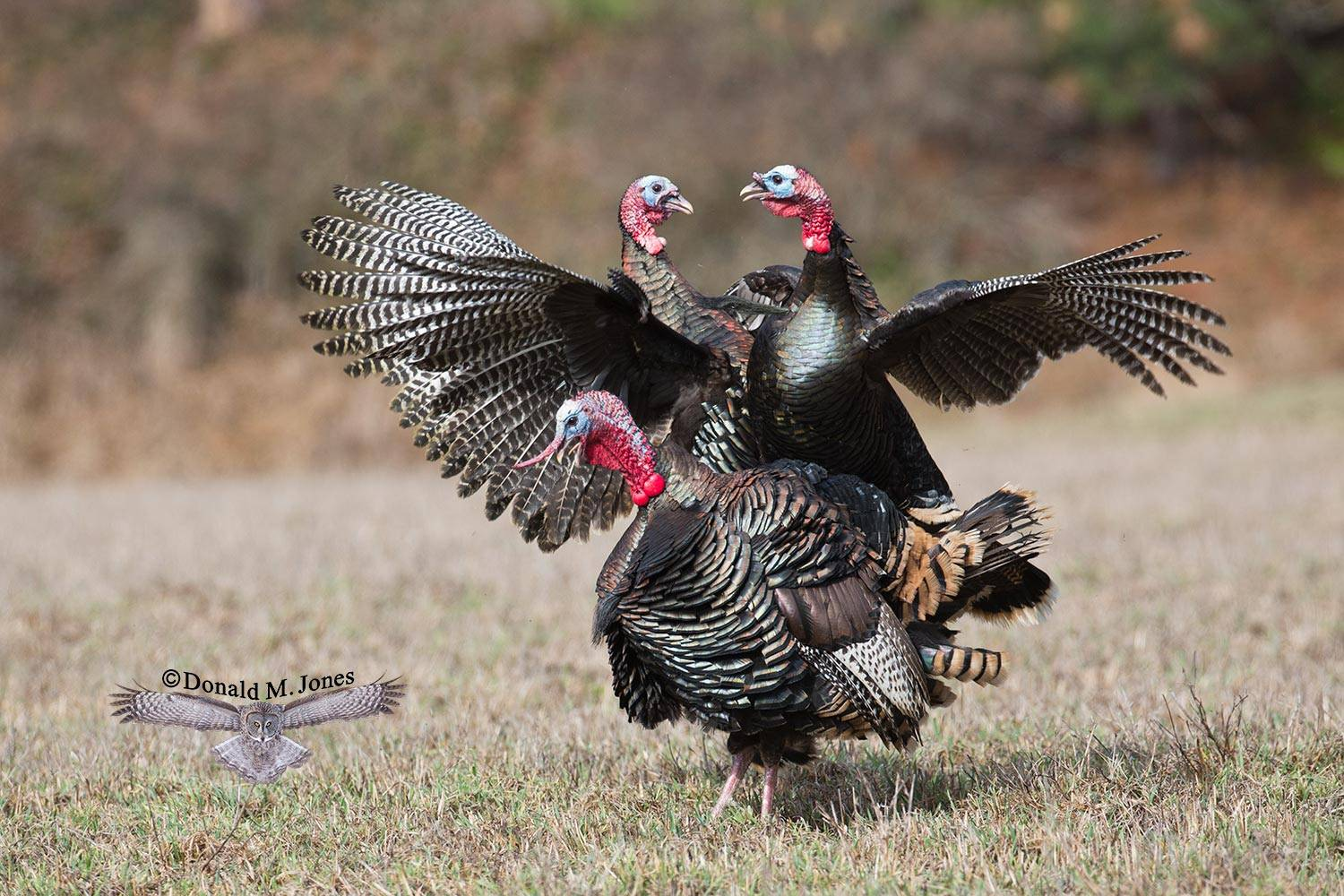 Wild-Turkey-(Merriams)11485D