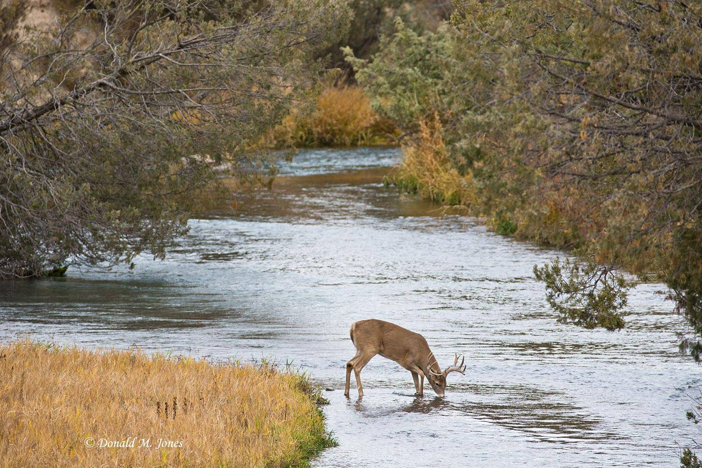 Whitetail-Deer51100D