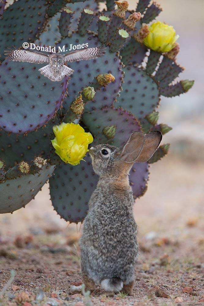 Desert-Cottontail0232D
