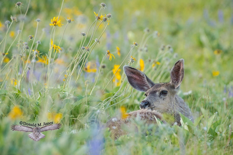 Mule-Deer10975D