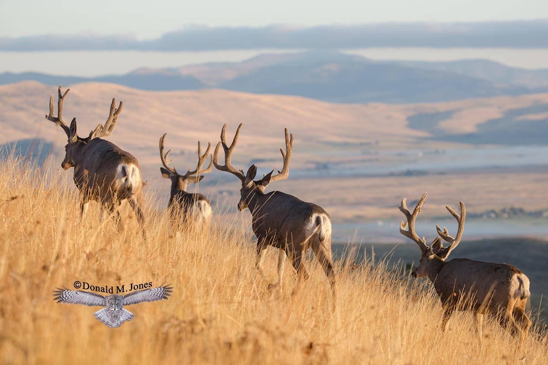 Mule-Deer10112D