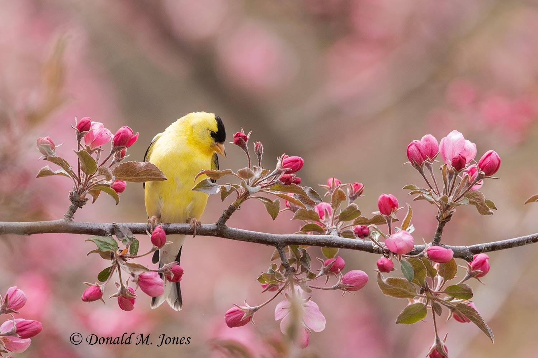 American-Goldfinch0305D