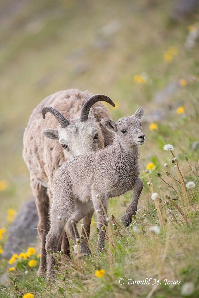 Bighorn-Sheep05445D