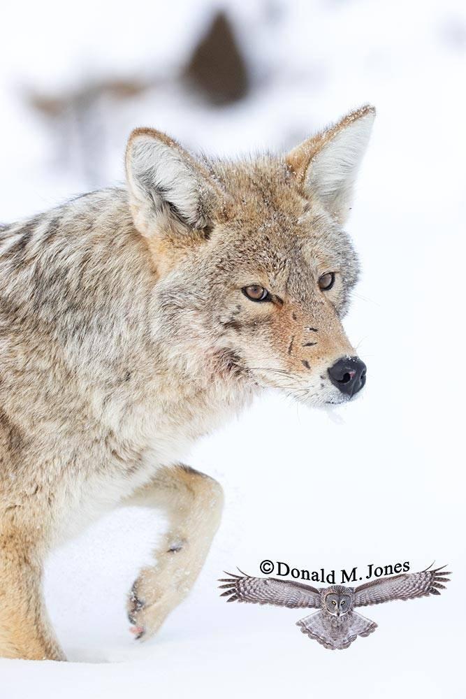 Coyote2715D