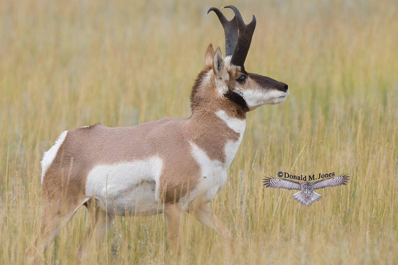 Pronghorn-Antelope03275D