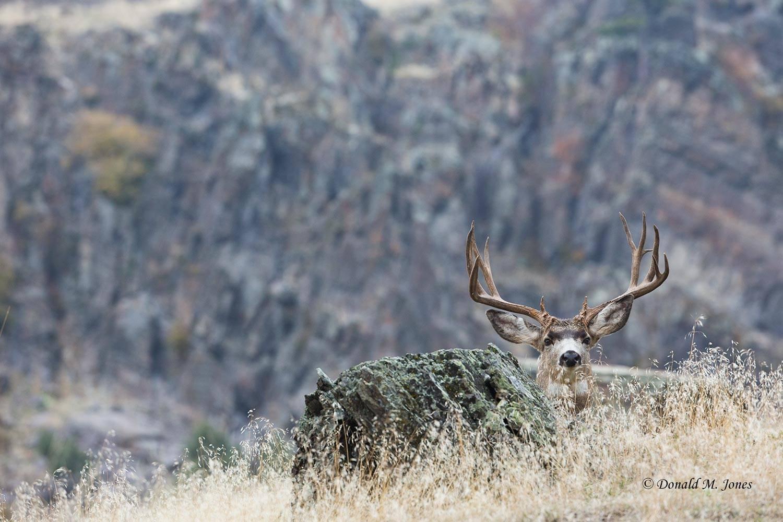 Mule-Deer09397D