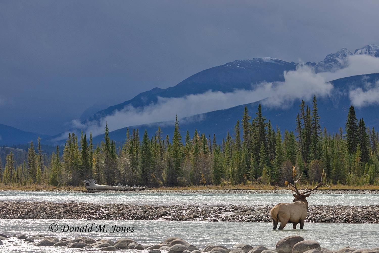 Elk-(Rocky-Mtn)28686D