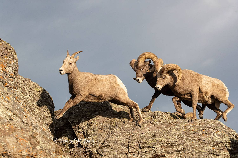 Bighorn-Sheep06365D