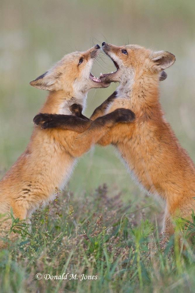 Red-Fox0938D