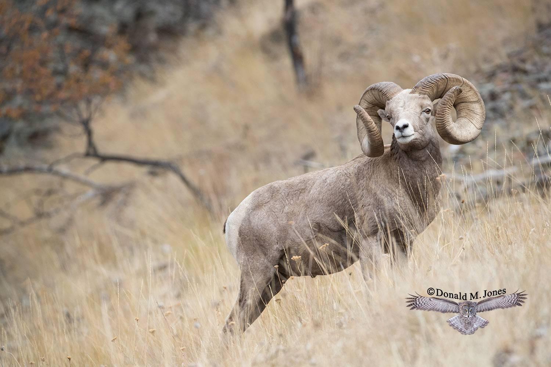 Bighorn-Sheep06150D