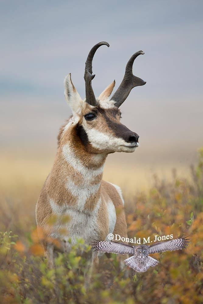 Pronghorn-Antelope04614D