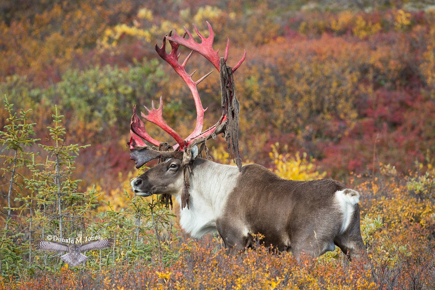 Barren-Ground-Caribou02997D