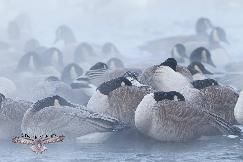 Canada-Goose1092D