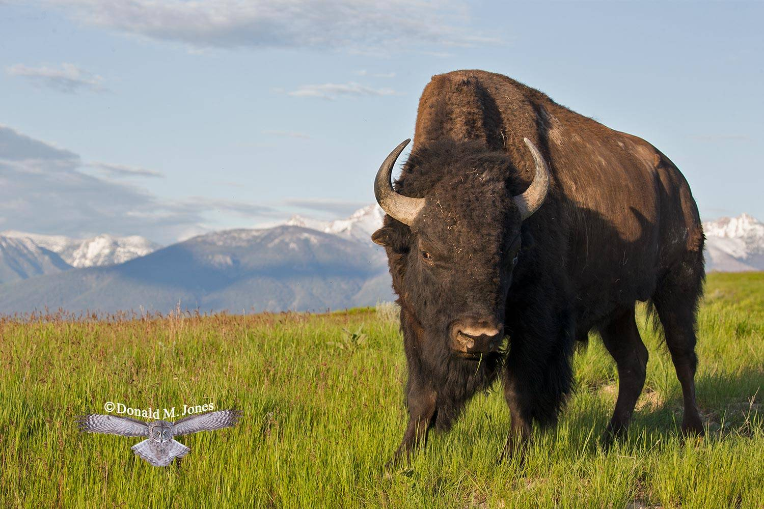 American-Bison02149D