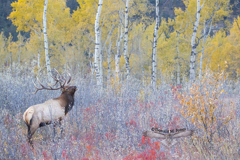 Elk-(Rocky-Mtn)26309D