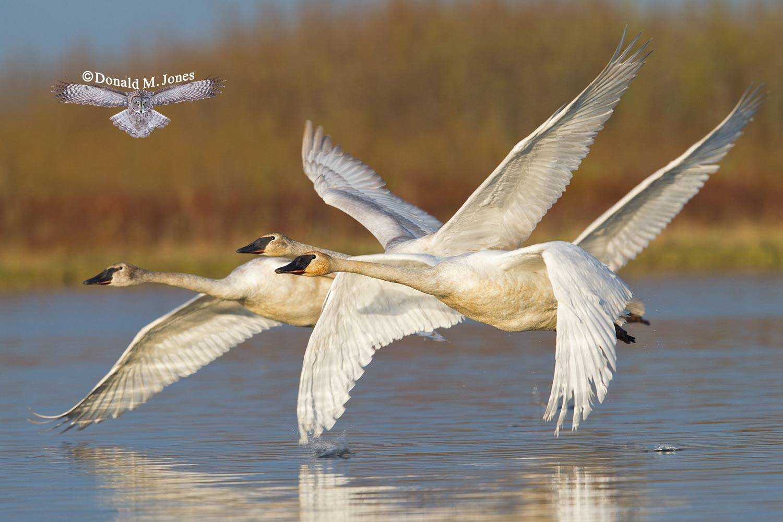 Trumpeter-Swan0222D