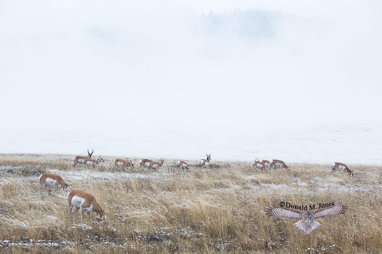 Pronghorn-Antelope05231D