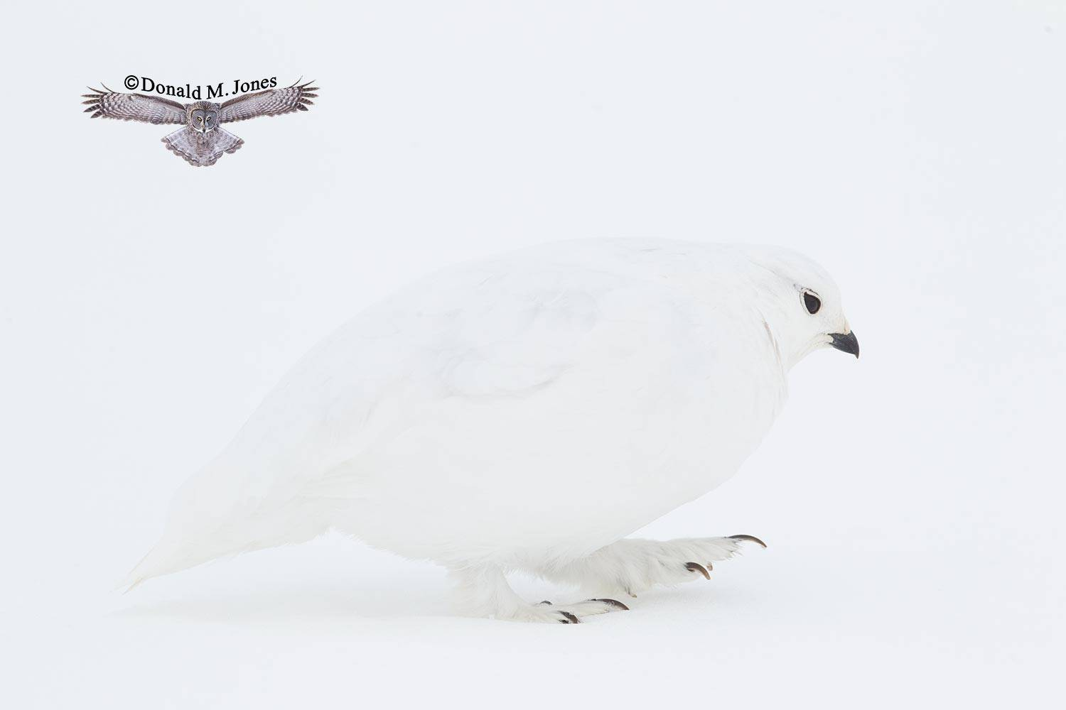 White-tailed-Ptarmigan0417D