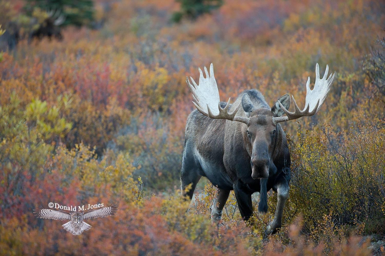 Moose05490D