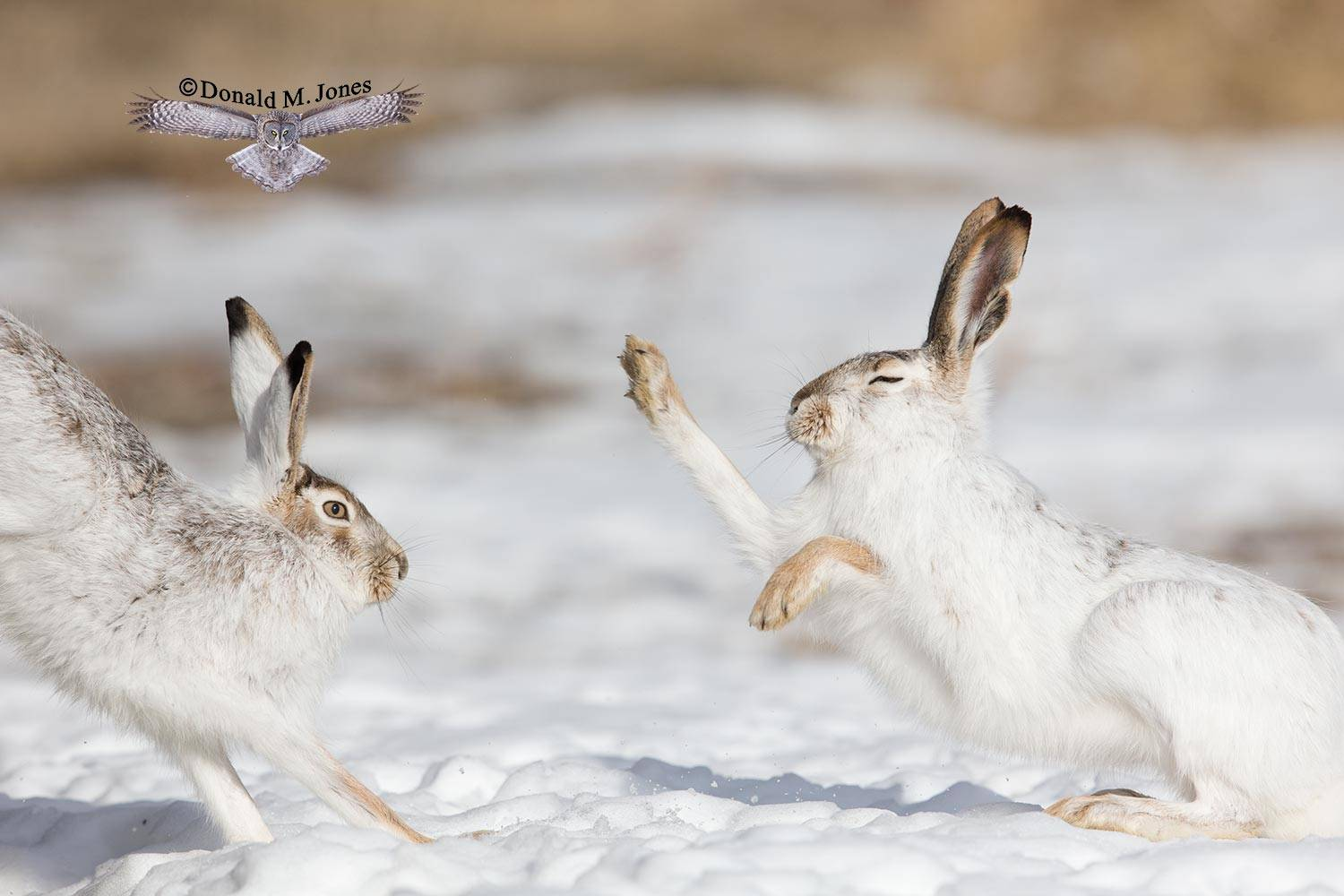 White-tailed-Jackrabbit0305D