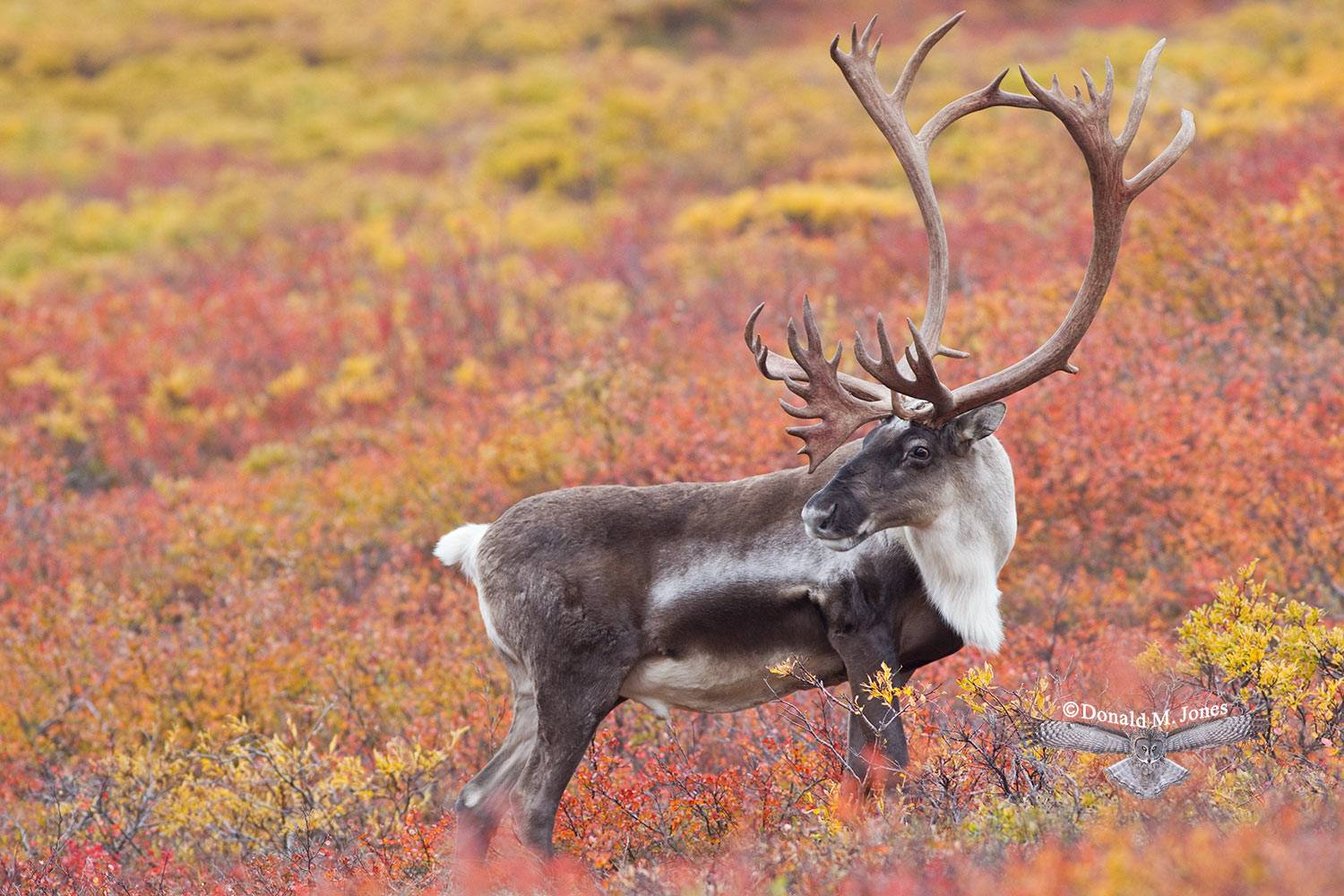 Barren-Ground-Caribou02492D