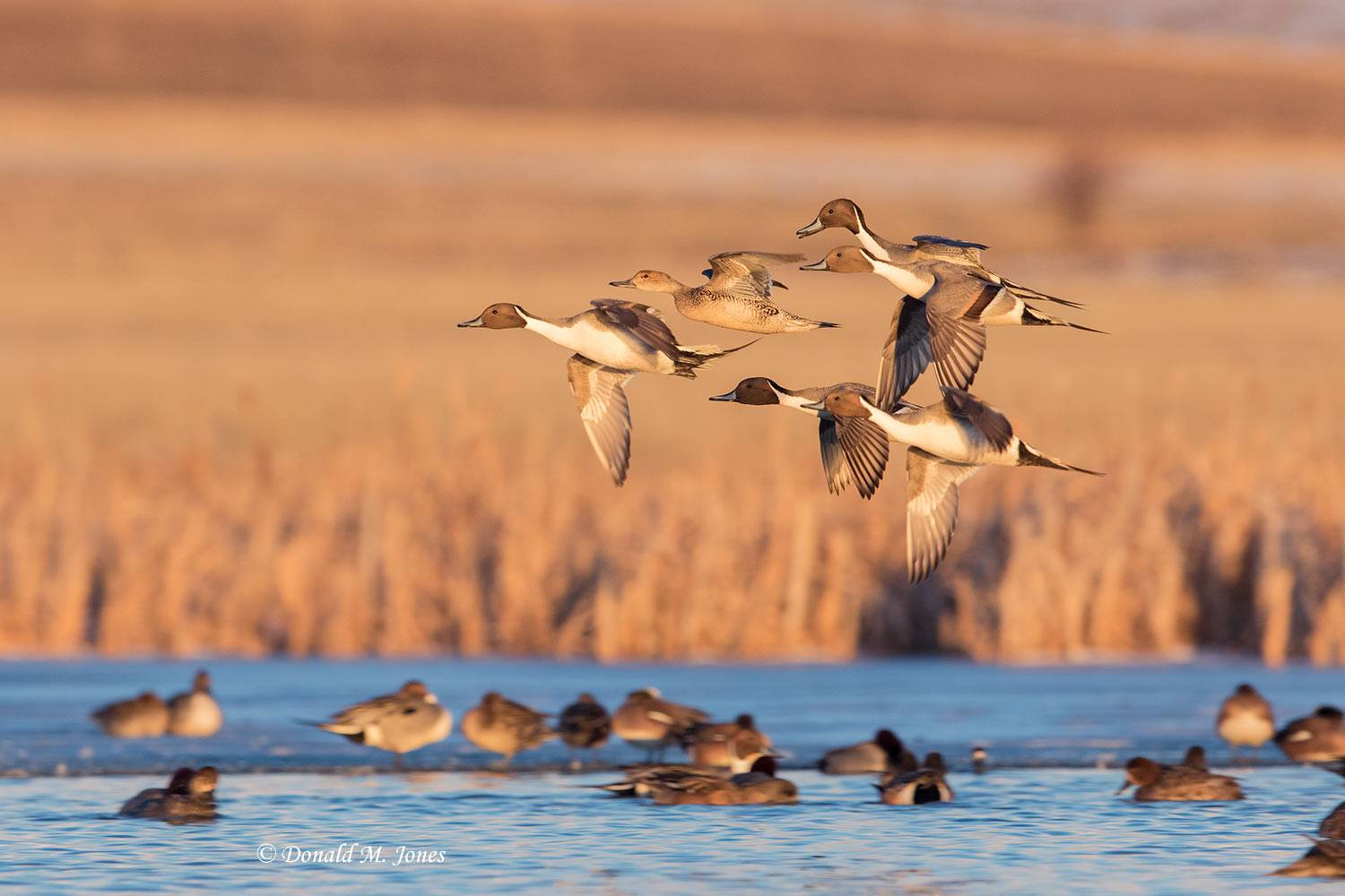 Northern-Pintail2331D
