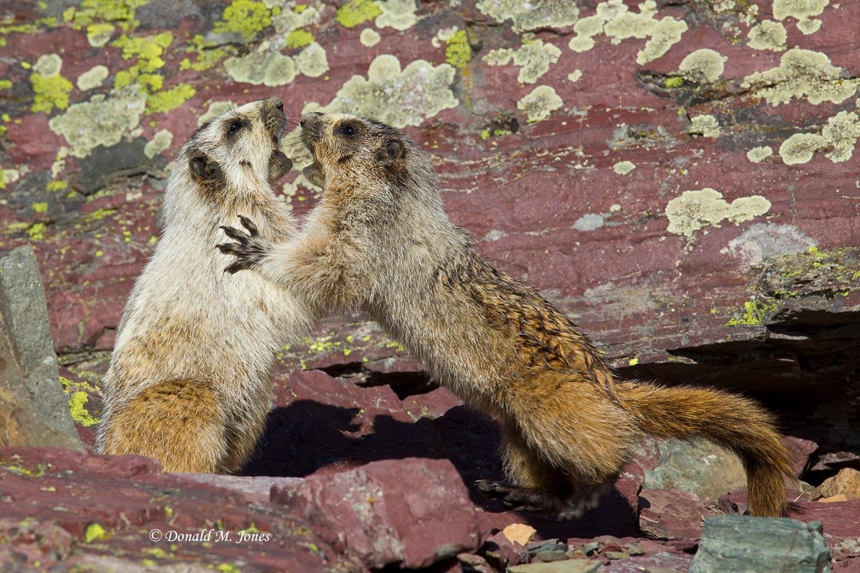 Hoary-Marmot0446D