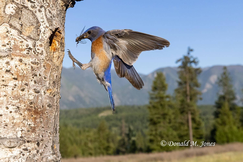 Western-Bluebird1076D