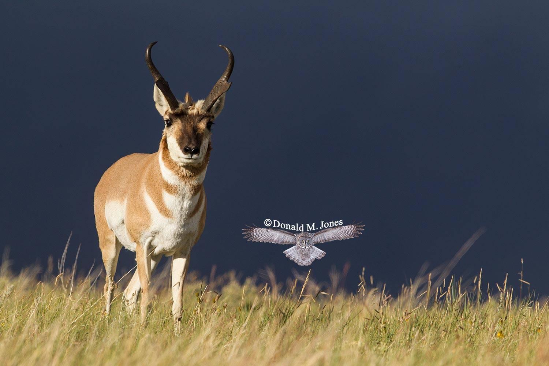 Pronghorn-Antelope05139D