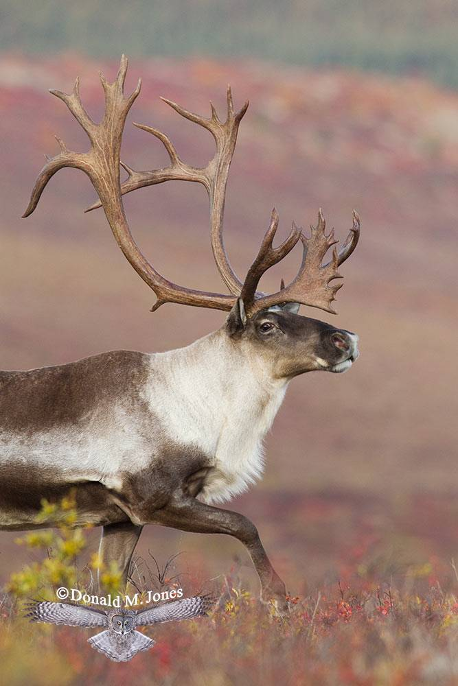 Barren-Ground-Caribou02238D