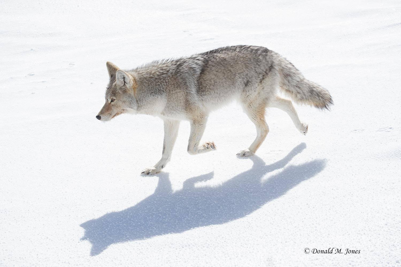 Coyote2644D