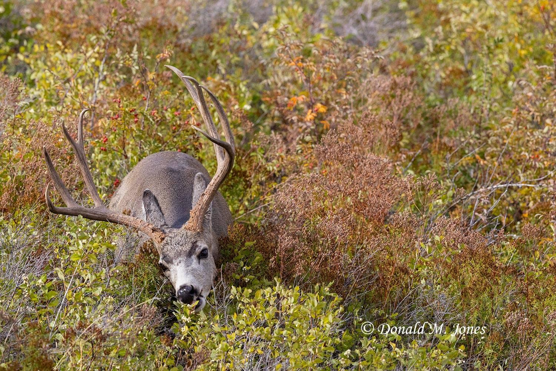 Mule-Deer13349D