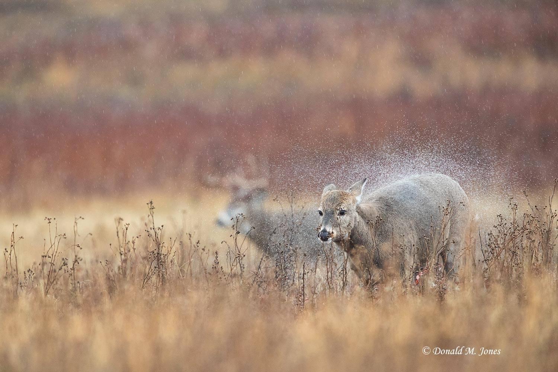 Whitetail-Deer60958D