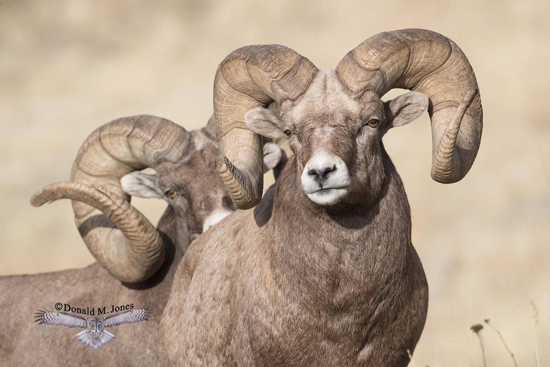 Bighorn-Sheep05656D