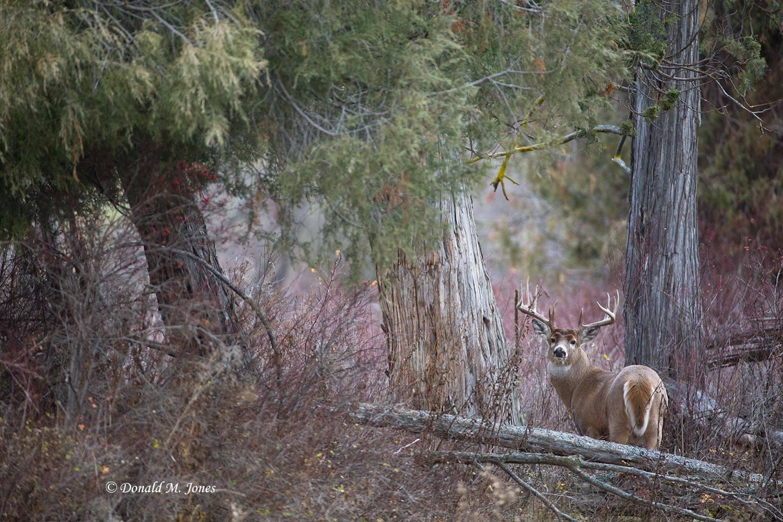 Whitetail-Deer50644D