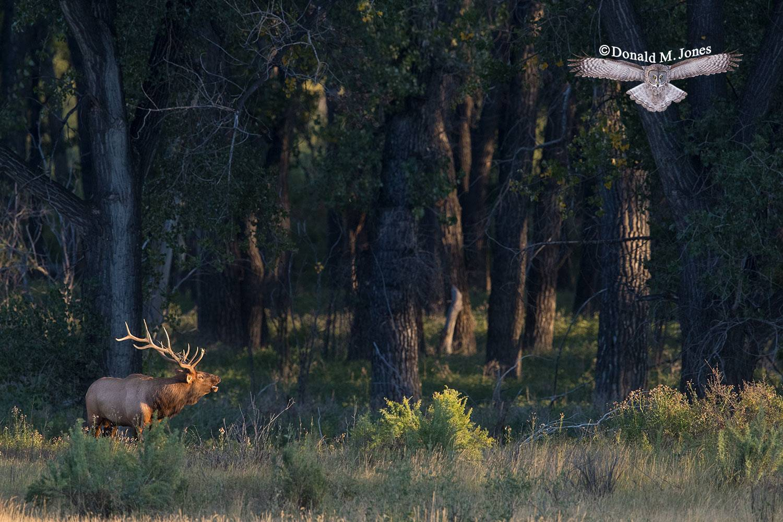 Elk-(Rocky-Mtn)25725D