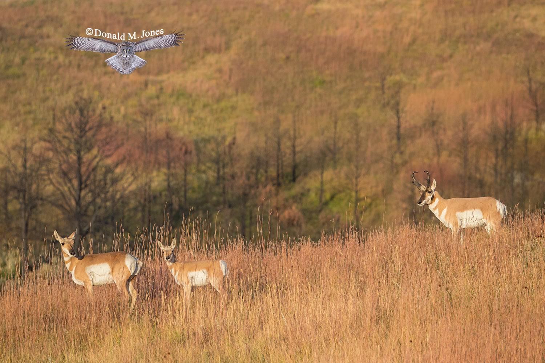 Pronghorn-Antelope05554D
