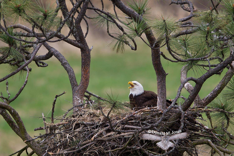 Bald-Eagle0910D