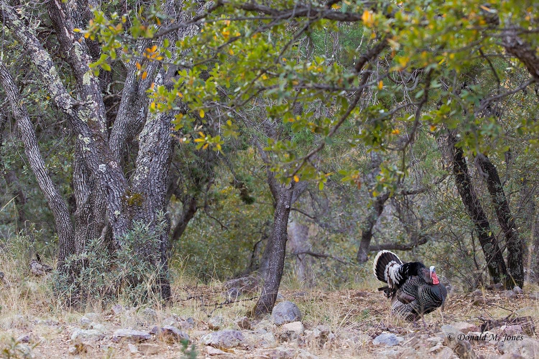 Wild-Turkey-(Goulds)00291D